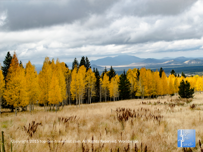 The amazing fall season in Northern Arizona - beautiful golden aspens along the Aspen Nature Loop in Flagstaff