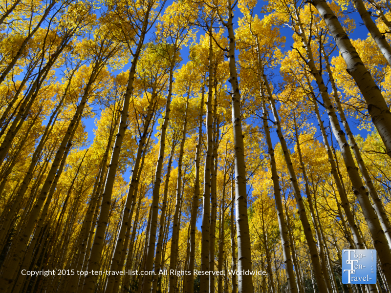Crisp blue skies and stunning golden aspens on the Inner Basin trail in Flagstaff during the fall season