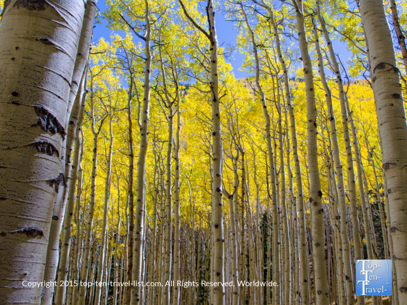 Gorgeous golden aspens during the fall season along the Inner Basin trail in Flagstaff, Arizona