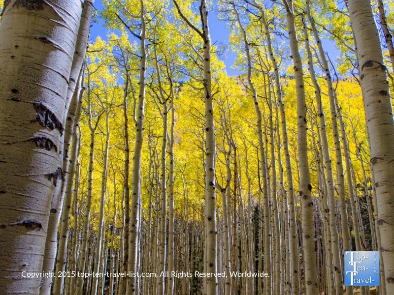 Gorgeous golden aspens along the Inner Basin trail in Flagstaff, Arizona