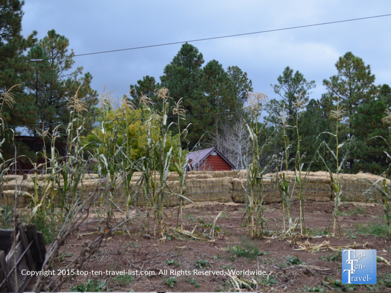 A mini corn maze at Hitchin' Post Stables during the seasonal Pumpkin in the Pines event.