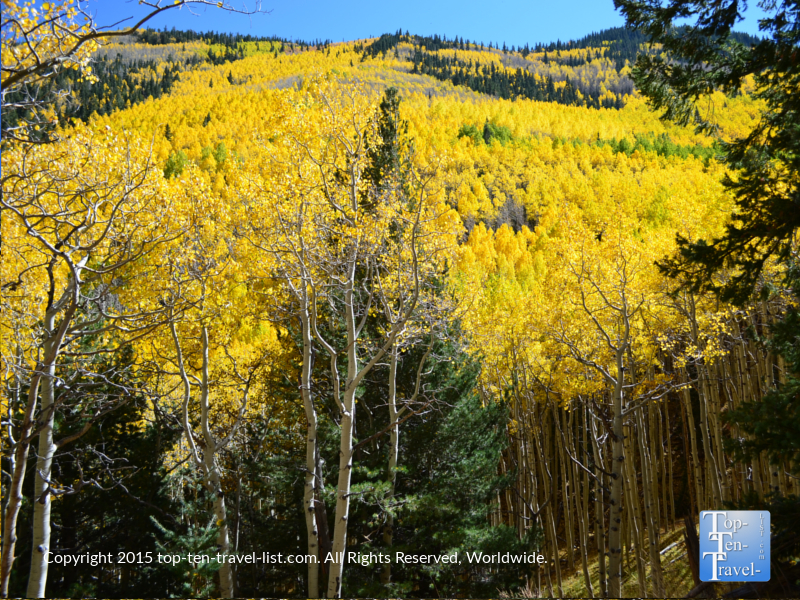 Gorgeous golden aspens covering the mountains along the Inner Basin trail in Flagstaff, Arizona