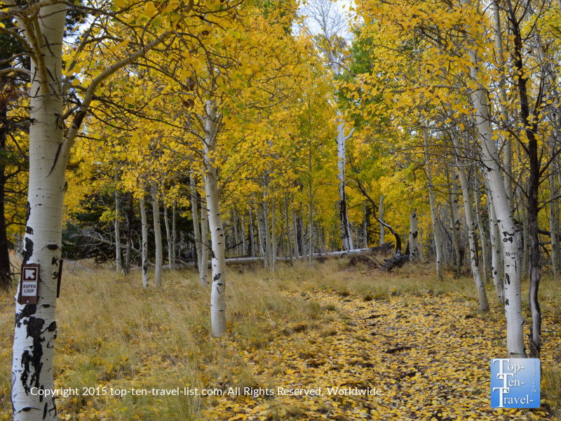Amazing yellow foliage and leaves scattered along the Aspen Nature Loop trail at Snowbowl.