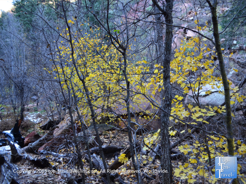 The yellow foliage of fall along the West Fork hiking trail in Sedona, Arizona