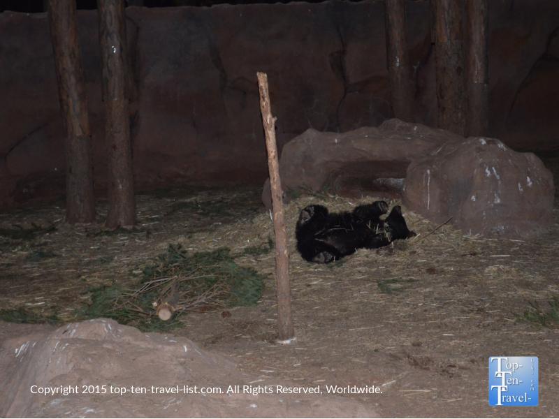 Black bear cub at Wild Wonderland at Bearizona in Williams, Arizona