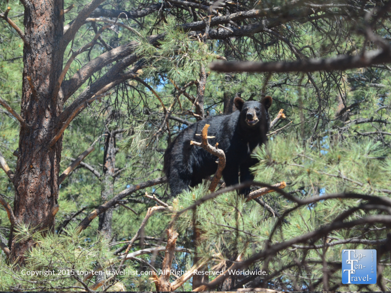 A black bear up in the trees, seen in the drive-thru section of the park.