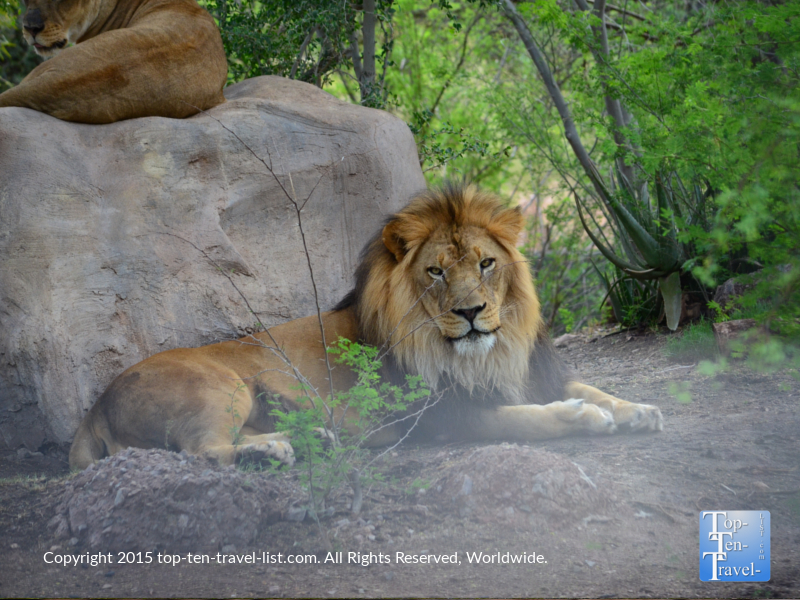 A beautiful lion at the Phoenix Zoo