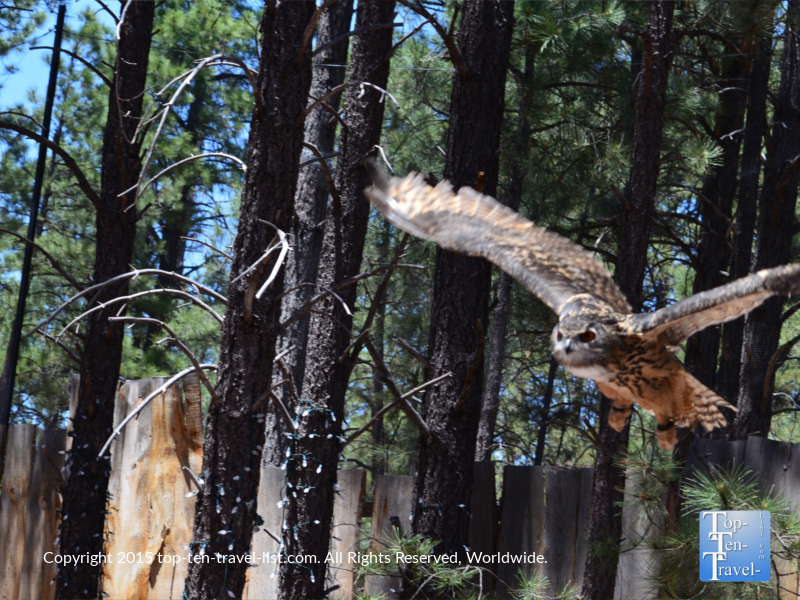 An owl soaring above our heads during the Birds of Prey show.
