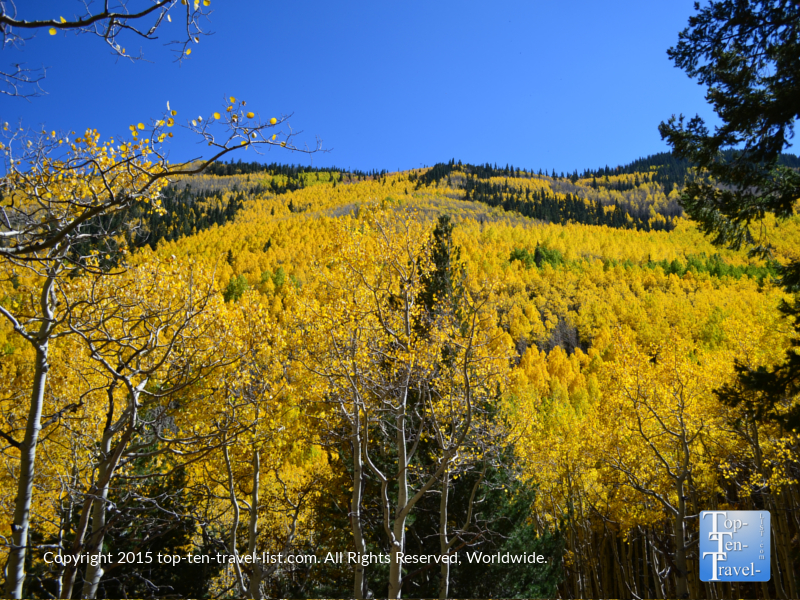 A peak of the mountains covered with aspens - the Inner Basin Trail in Flagstaff, Arizona during the beautiful fall season
