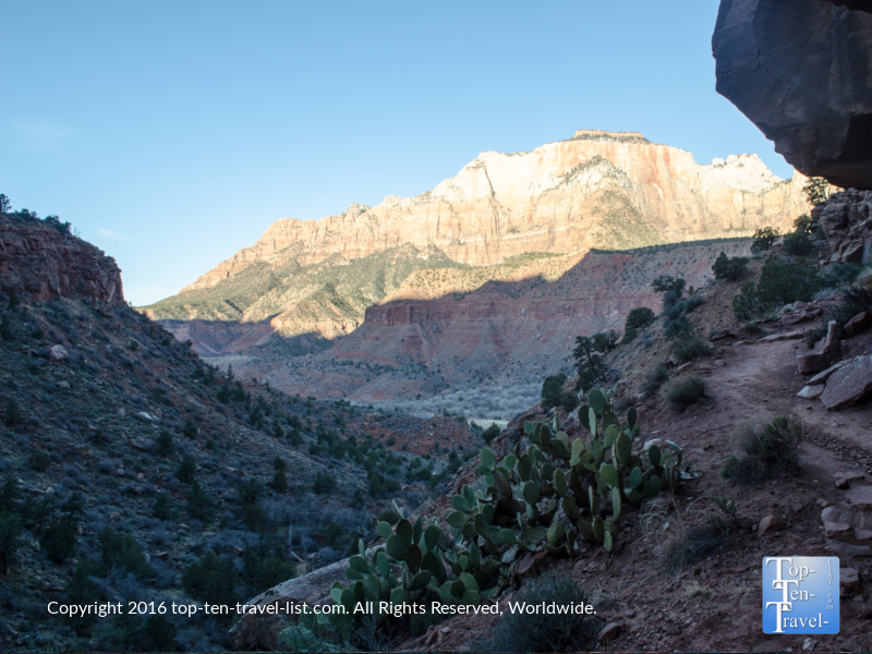 A beautiful prickly pear lining the Watchman Trail at Zion National Park