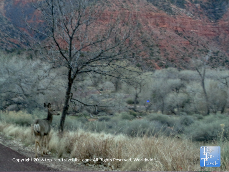 Deer at Zion National Park in the early morning hours