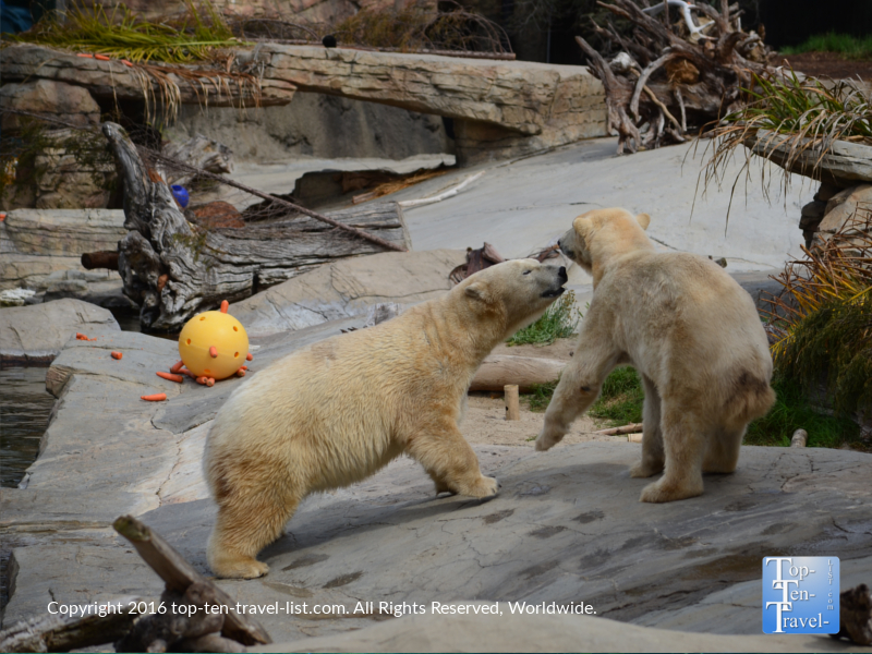 2 polar bears playing at the San Diego Zoo