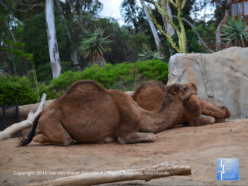 Camel at San Diego Zoo