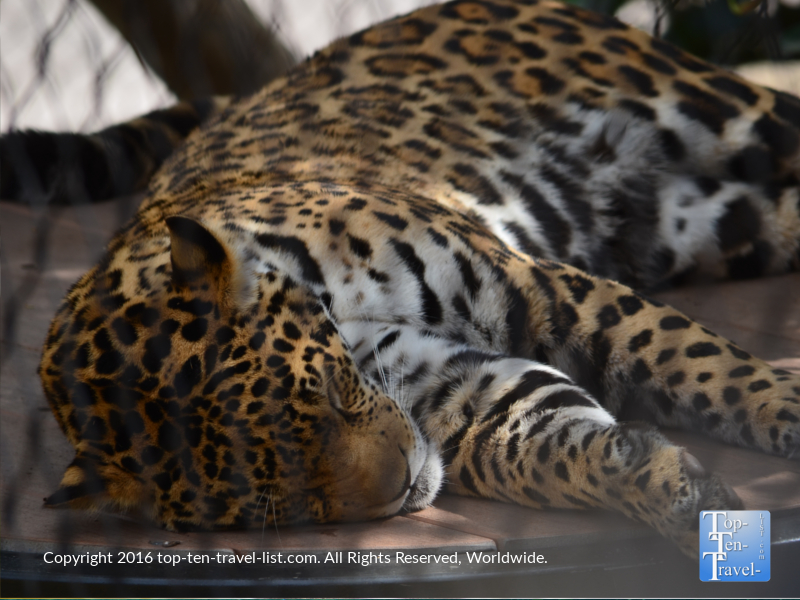 Close up of a sleeping jaguar at the San Diego Zoo