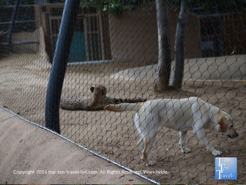 Pictured below in the same cage is a Taraji the cheetah and Duke (an Antolian shepherd dog).