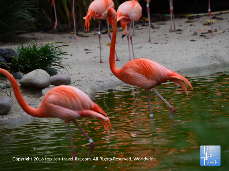 Gorgeous flamingos at the San Diego Zoo