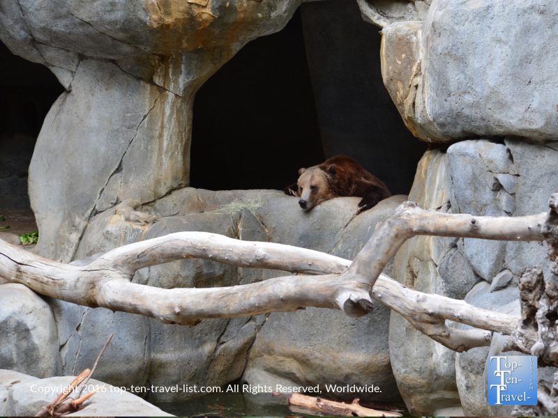 Grizzly bear sleeping at the San Diego Zoo