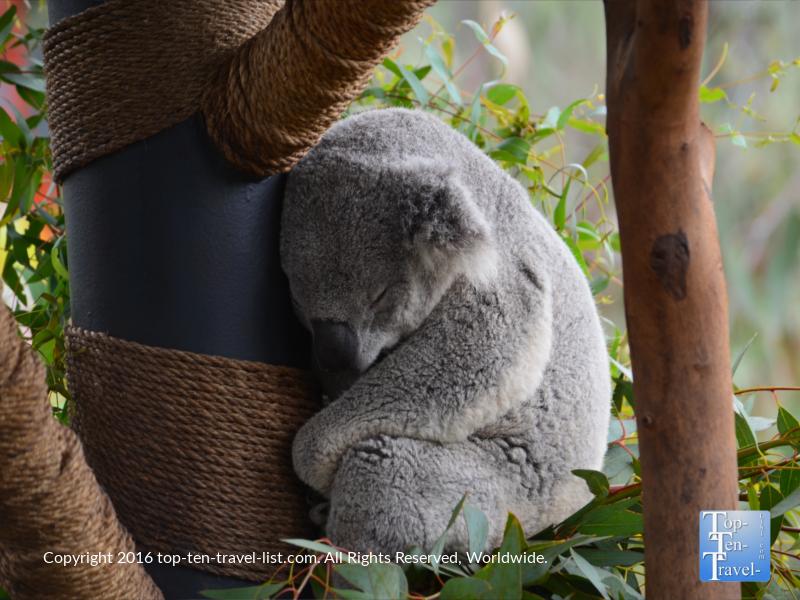 Koala napping at the San Diego Zoo