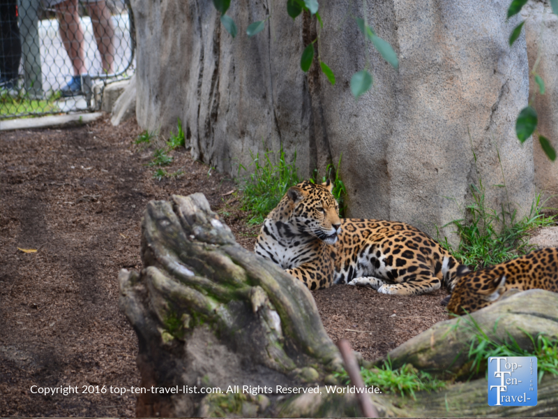Leopard relaxing at the San Diego Zoo