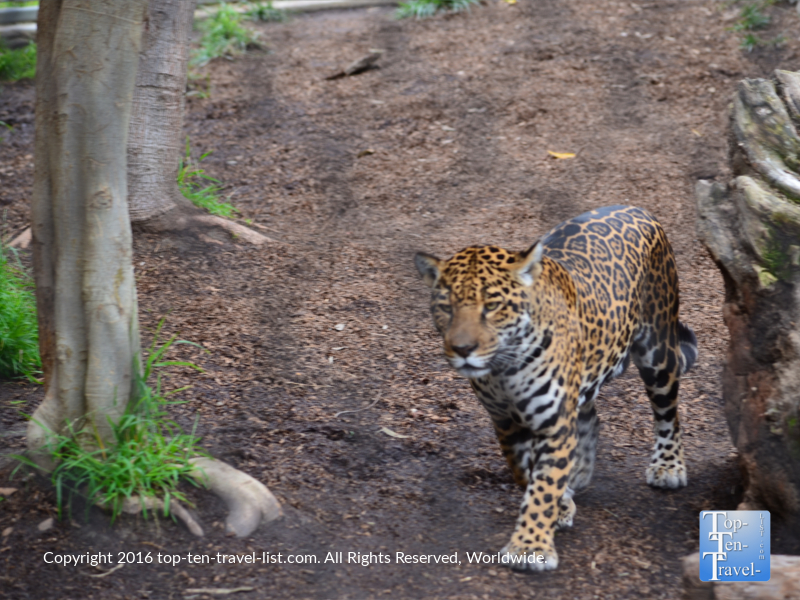 Leopard strolling around the San Diego Zoo