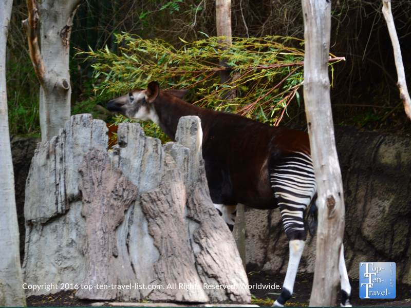 Okapi at the San Diego Zoo