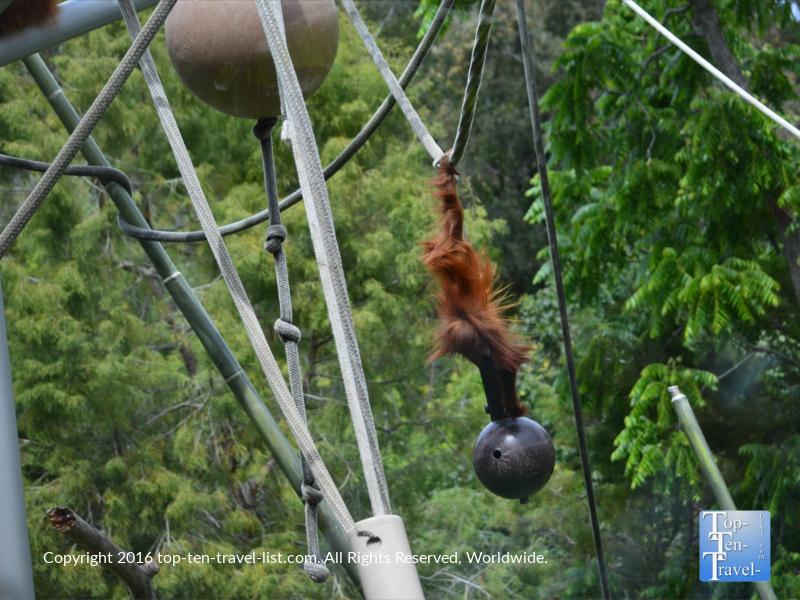 Orangutang at the San Diego Zoo