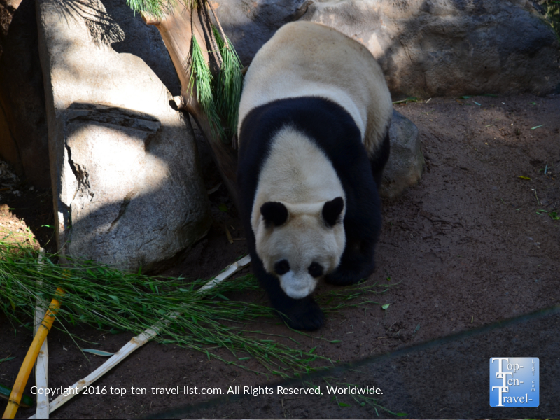 Panda strolling around at the San Diego Zoo