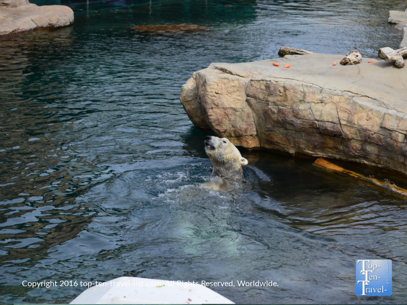 Polar bear enjoying the water at the San Diego zoo