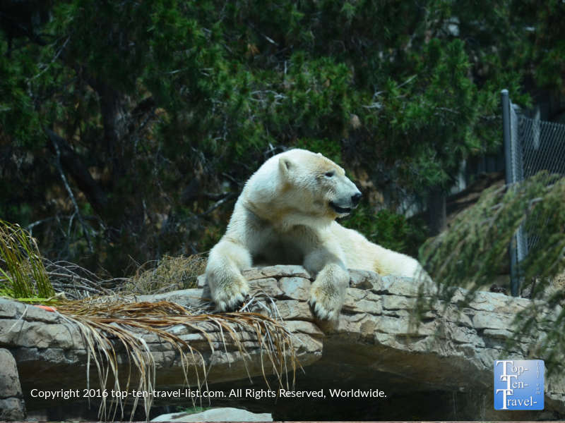 Polar bear resting at the San Diego Zoo