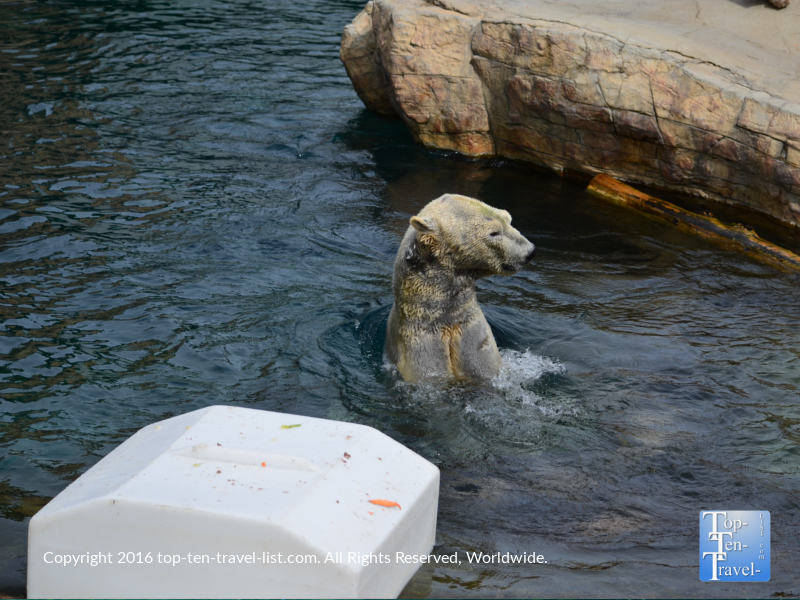 Polar bear swimming at the San Diego Zoo