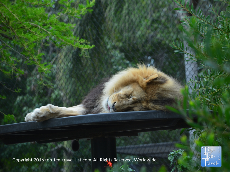 Sleeping lion at the San Diego Zoo