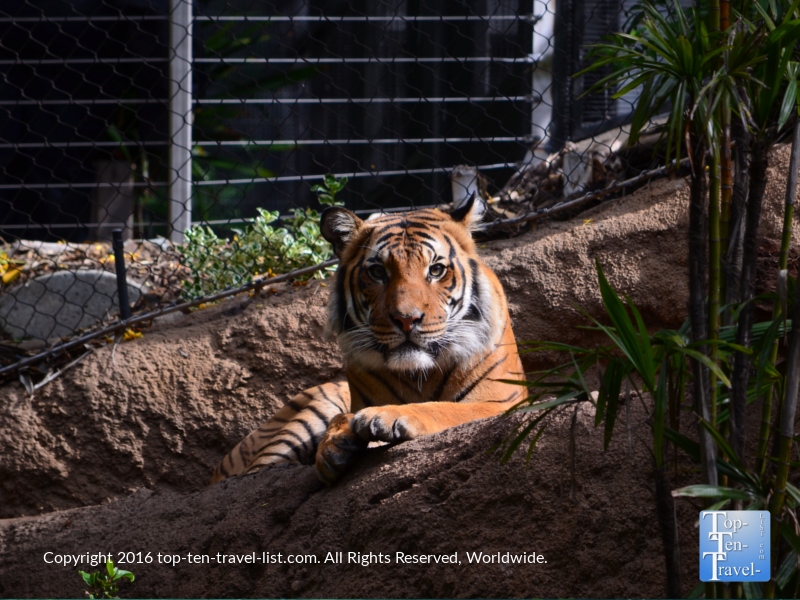 Tiger relaxing at the San Diego Zoo