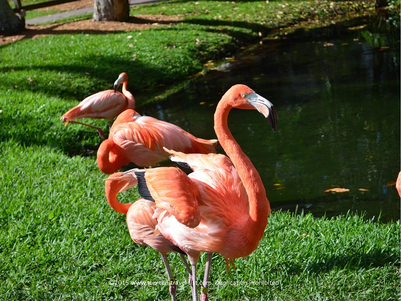 Free roaming flamingos at Sarasota Jungle Gardens in Sarasota. The gardens is a great add-on to any day out in beautiful Sarasota.