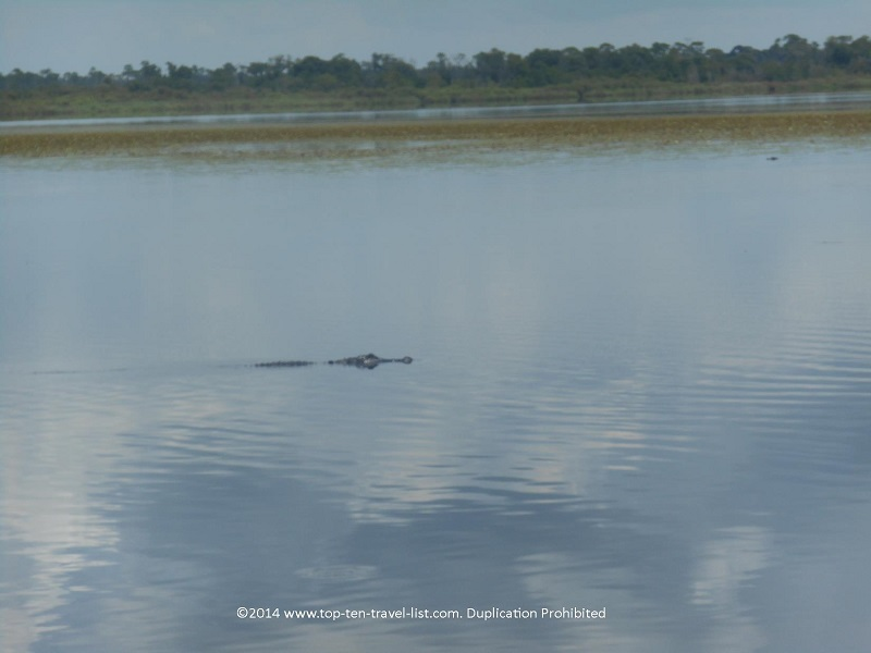 One of many alligator sightings on the fantastic Gator Gal cruise at Myakka River State Park in Sarasota.