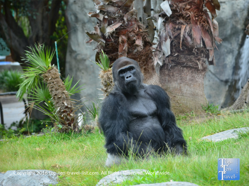 A beautiful gorilla at the San Diego Zoo