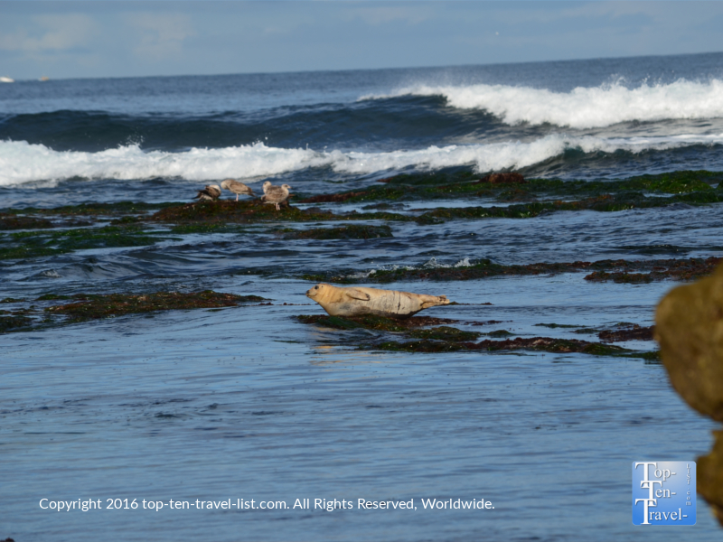 A morning sea lion sighting at La Jolla Cove in San Diego