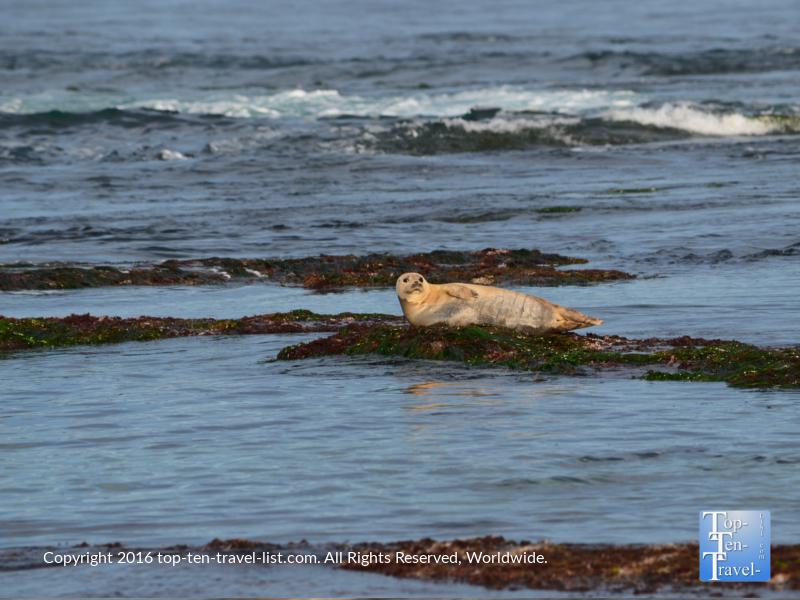 Adorable sea lion at La Jolla Cove in San Diego