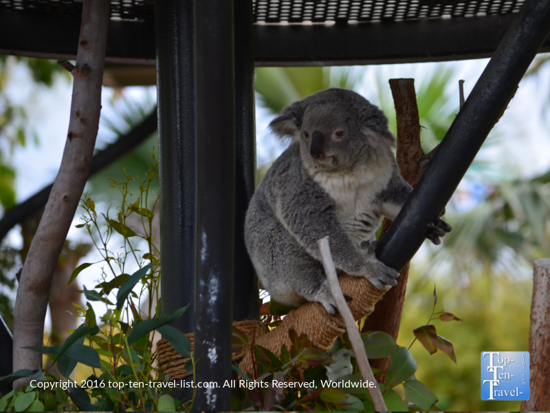 An adorable koala bear at the San Diego Zoo