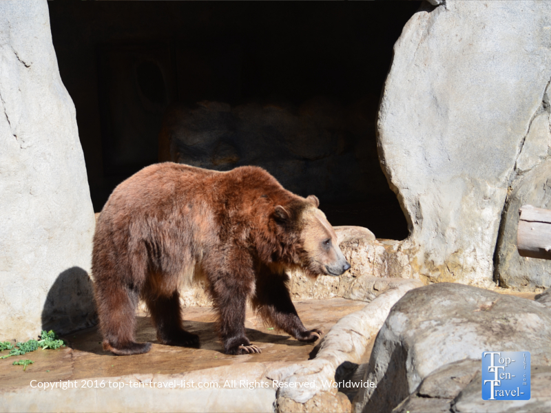 Grizzly at the San Diego Zoo