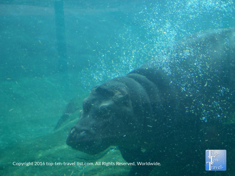 Hippo underwater at the San Diego Zoo