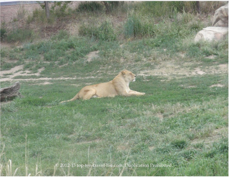 Lion relaxing at the Denver Zoo