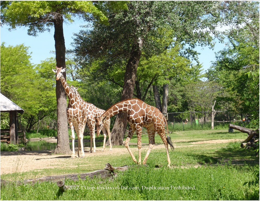Giraffes at the Brookfield Zoo in Chicago, Illinois