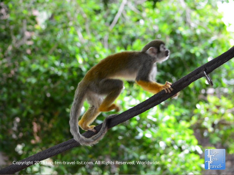 Squirrel Monkey exhibit at the Phoenix Zoo