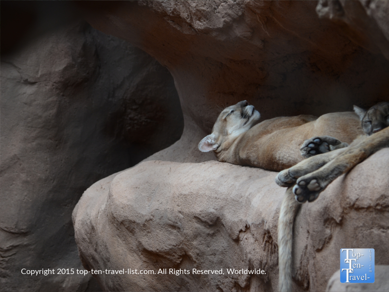 Sleeping cougar at the Phoenix Zoo