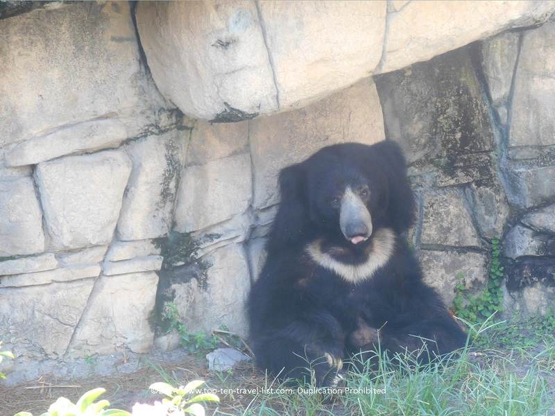 The endangered Sloth Bear.