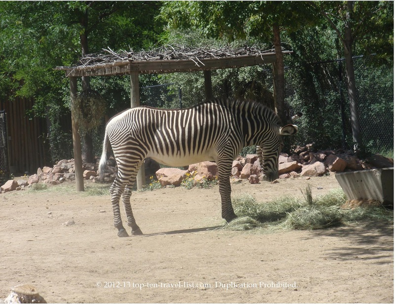 Zebra at the Denver Zoo