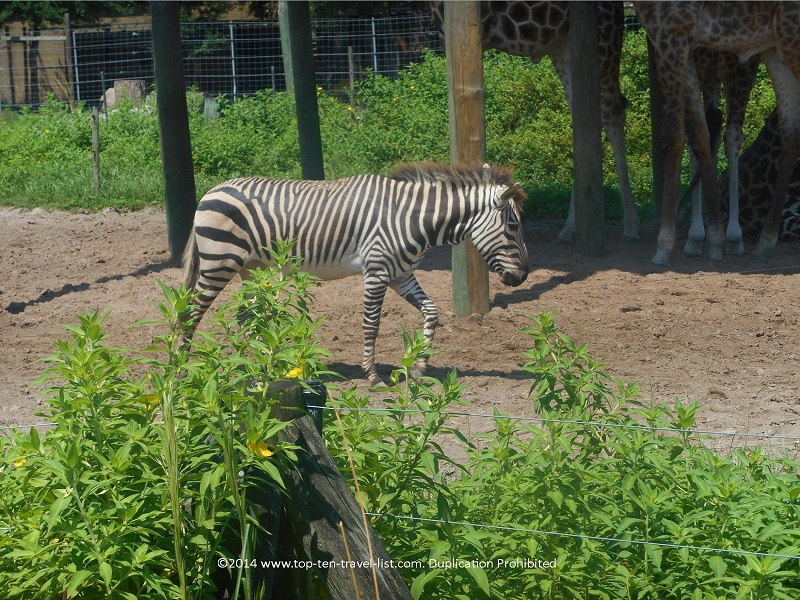 Zebra at the Lowry Park Zoo in Tampa, Florida