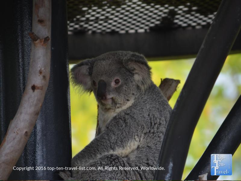 Koala bear looking straight at the camera at the San Diego Zoo