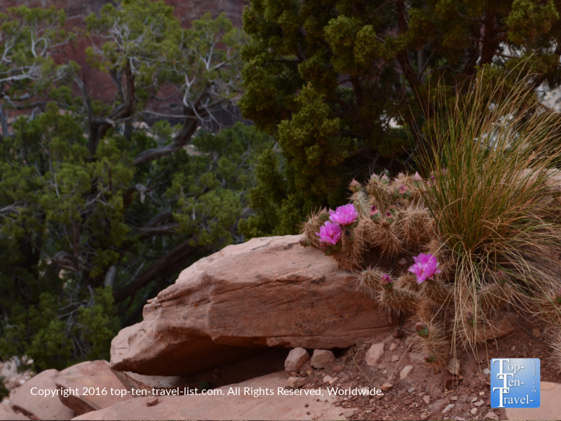 Pink flowers on a cactus along the Kalibab trail at the Grand Canyon