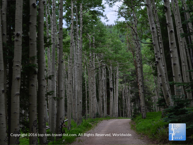 Beautiful tall aspens lining the Inner Basin trail in Flagstaff AZ